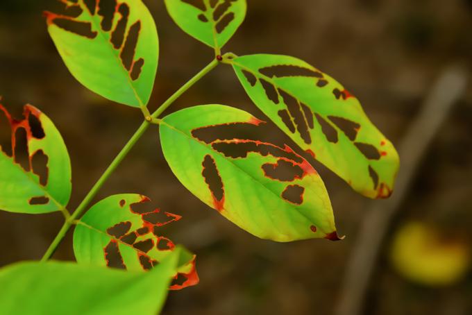 蝕まれた葉