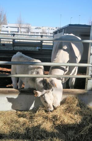 牧草を食べる子牛