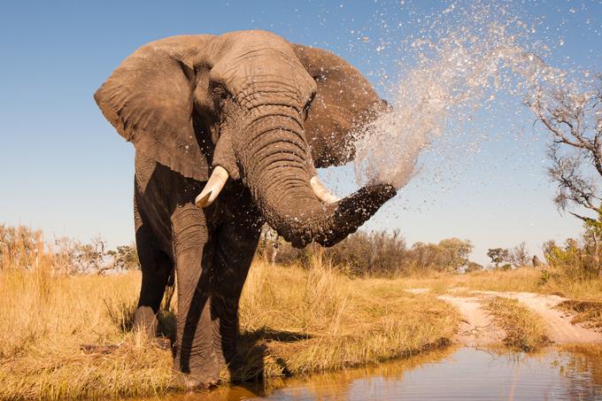 大きな鼻を振り回す象の画像