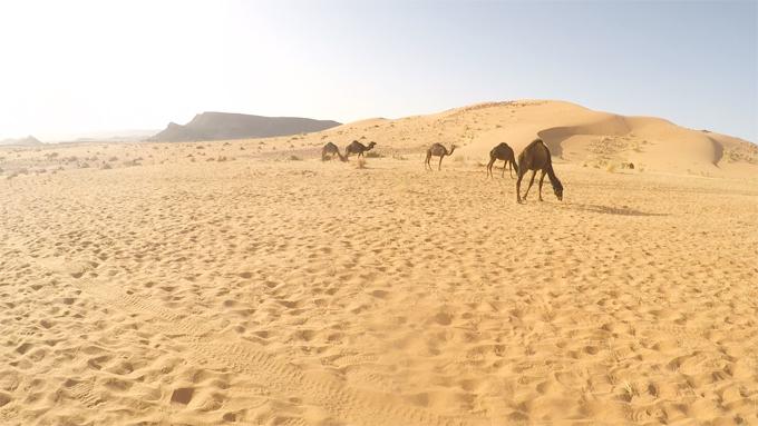 サハラ砂漠のらくだたち