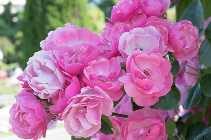たくさん咲いているダマスクローズの画像