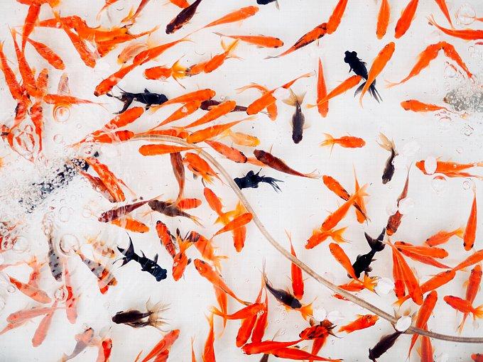 水槽で泳ぐたくさんの金魚