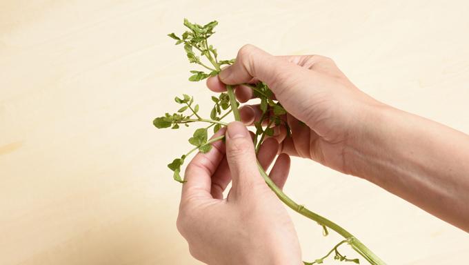 食べやすくなるように、手で先端、茎、葉に分けます。 1. 先端と茎を分ける 葉が密集している部分のすぐ下を折ります。