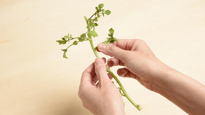 2. 茎の枝葉を摘む 写真のように、枝分かれして伸びている枝葉を摘みます。指先に少し力を入れるのがコツです。