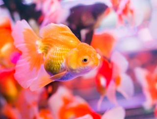 「ただただ癒されたい…」お疲れ度MAXな日の癒し系アプリ「和金魚」