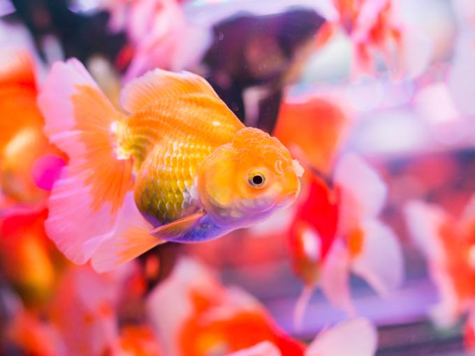 2匹の金魚が水槽で泳いでいる画像
