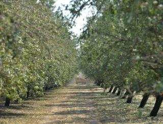 木に実ってるの始めて見た…アーモンドの本場カリフォルニアの農園を訪ねて知った新事実!