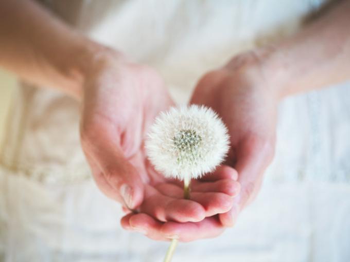 たんぽぽの綿毛を持っている女性の手の画像
