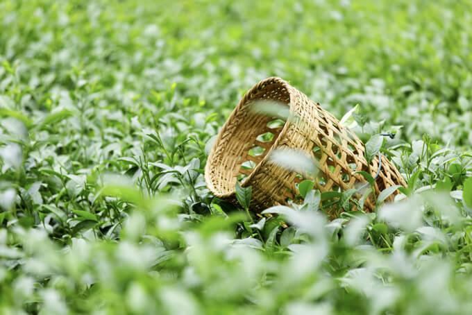 茶畑の画像
