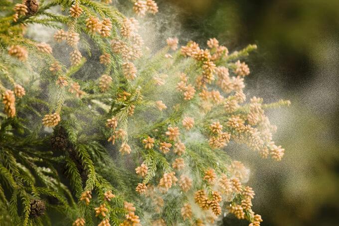 花粉が飛んでいる木