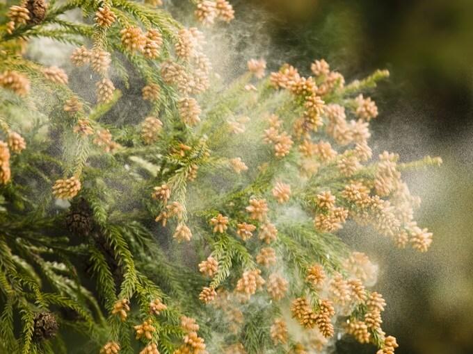 木から飛ぶ花粉