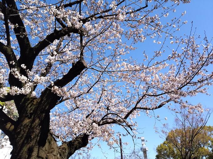 咲き始めている桜の木と空