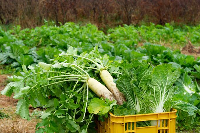 大根の収穫イメージ画像