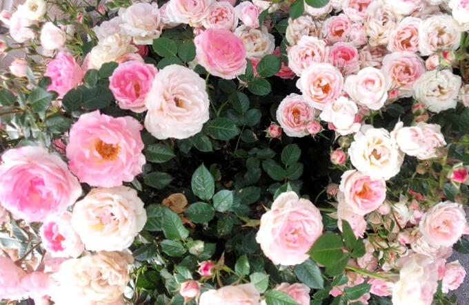 ローズの花イメージ画像