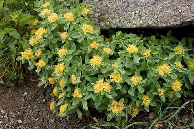 イワベンケイの花