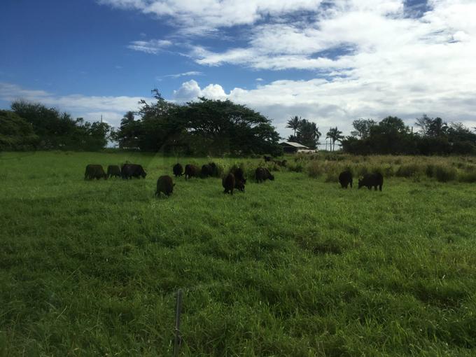 牧草に放たれた牛たち
