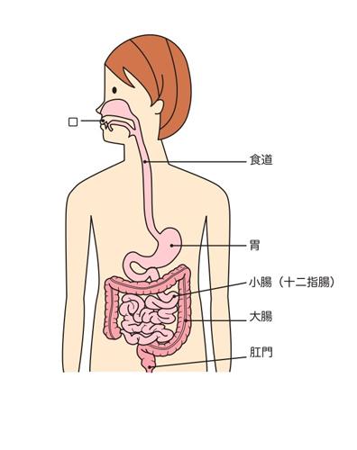 口から肛門までの人間の体内のイラスト