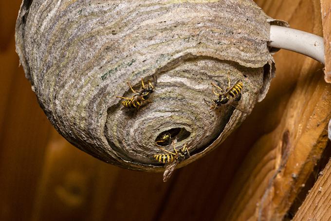 巣を出入りするハチの画像