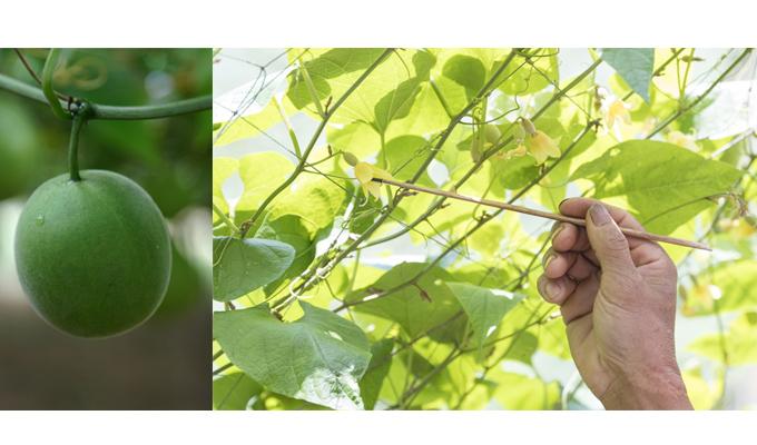 左から羅漢果の実と手作業による受粉の様子