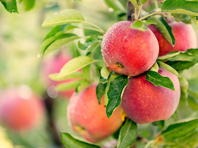 木になったりんご