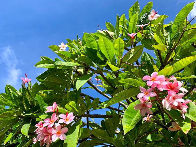 ハワイのピンクの花