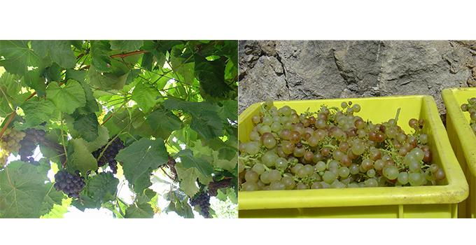 スイスのワインのブドウ        収穫されたブドウ