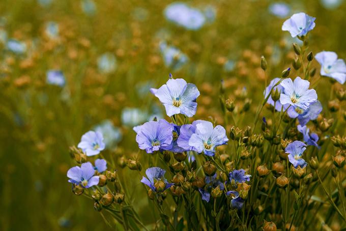 花を咲かせたアマの画像