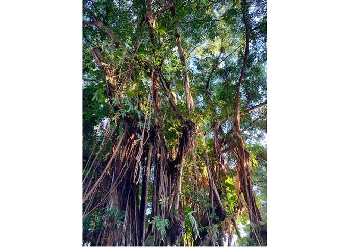 ハワイの歴史のある樹木