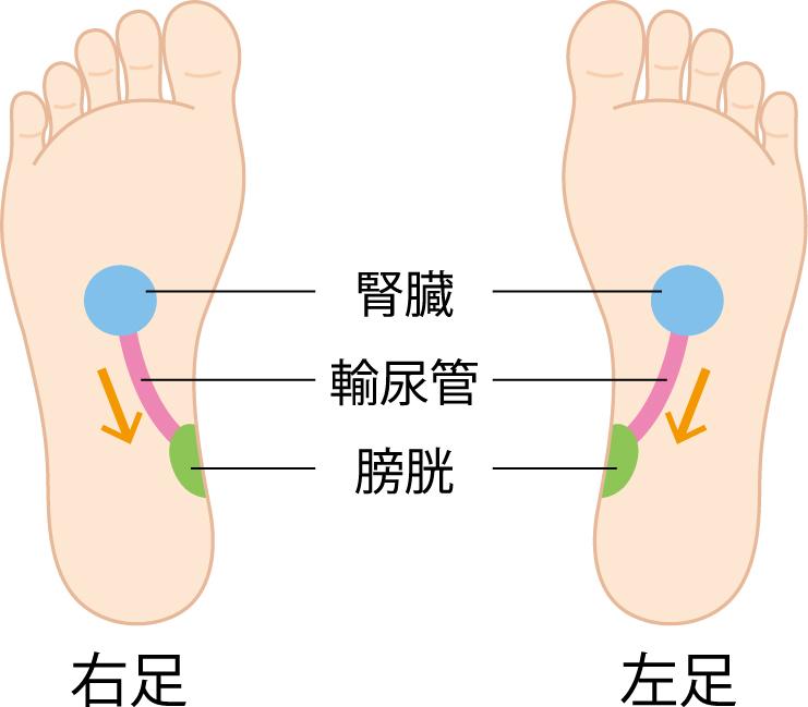 腎臓、輸尿管、膀胱の反射区のイラスト