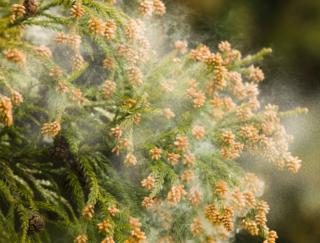花粉症の人はじつは呼吸器系の病気に強い!? 死亡リスクが62%も減少…岐阜大学の報告