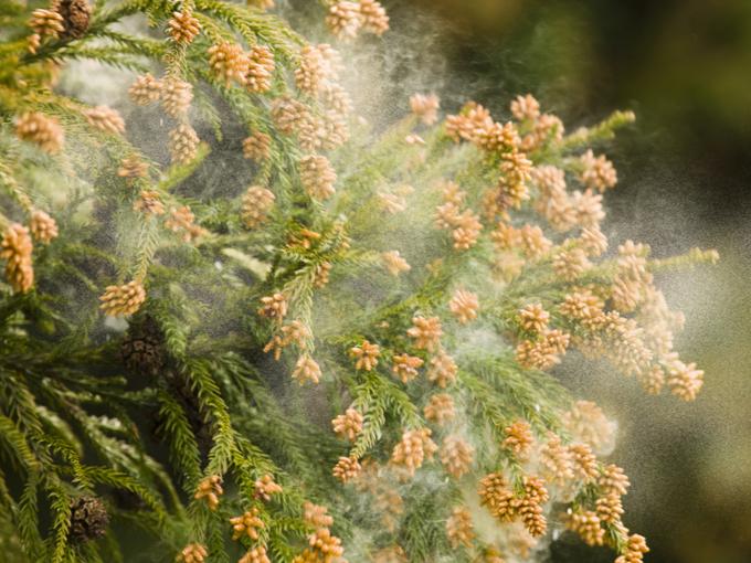 スギ花粉が飛ぶ様子