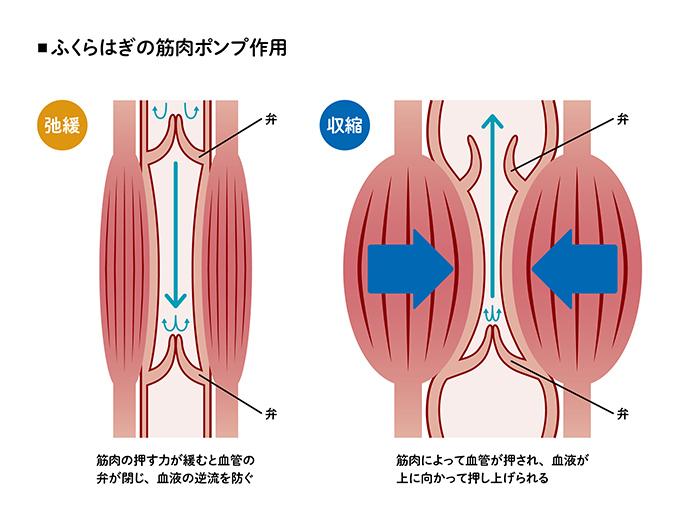 イラスト ふくらはぎの筋肉ポンプ作用 入る