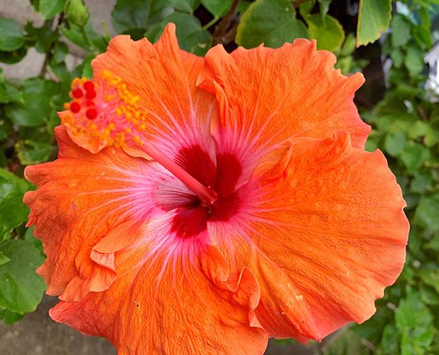 ハワイの花、赤いハイビスカス