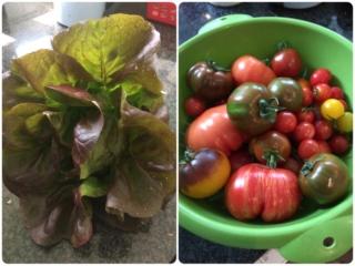 おうちでとれたレタスとトマト