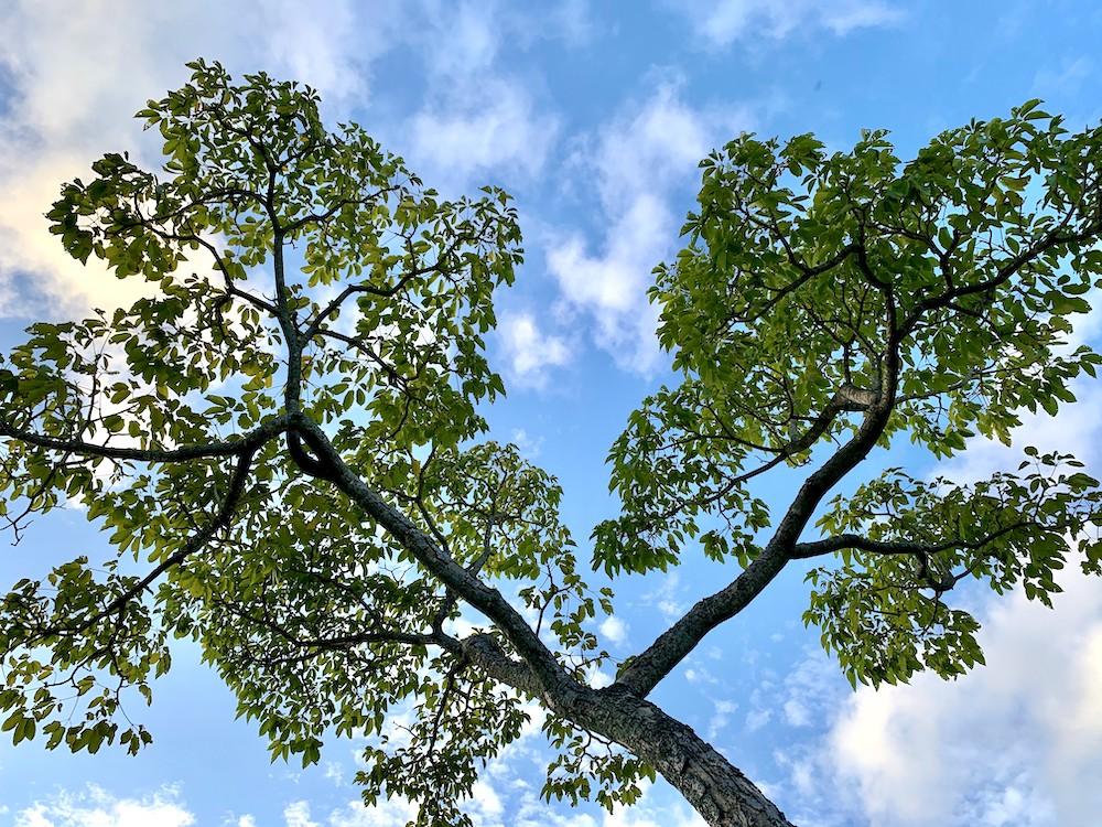 ハートの形をイメージするハワイの木を下から撮影