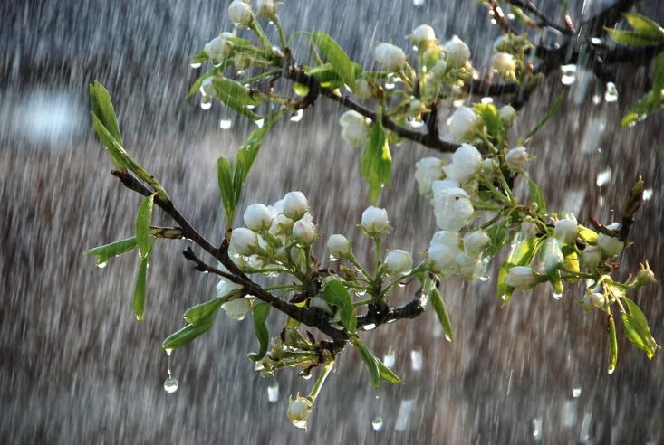 白い花が雨に打たれる画像