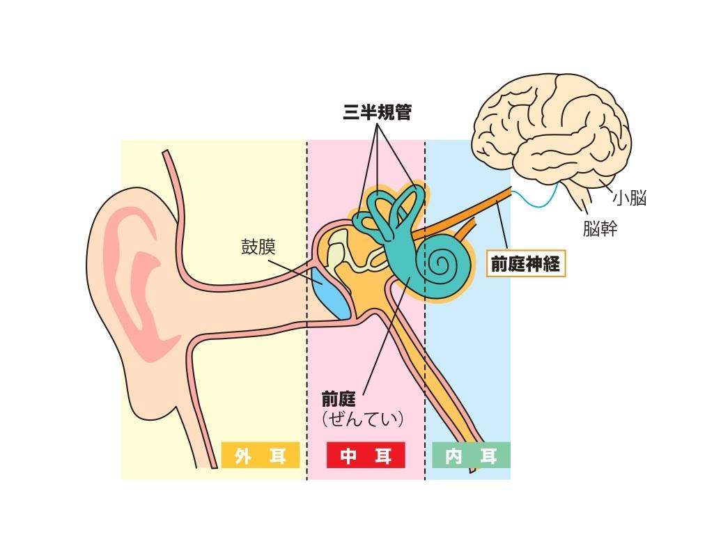 耳のイラスト画像