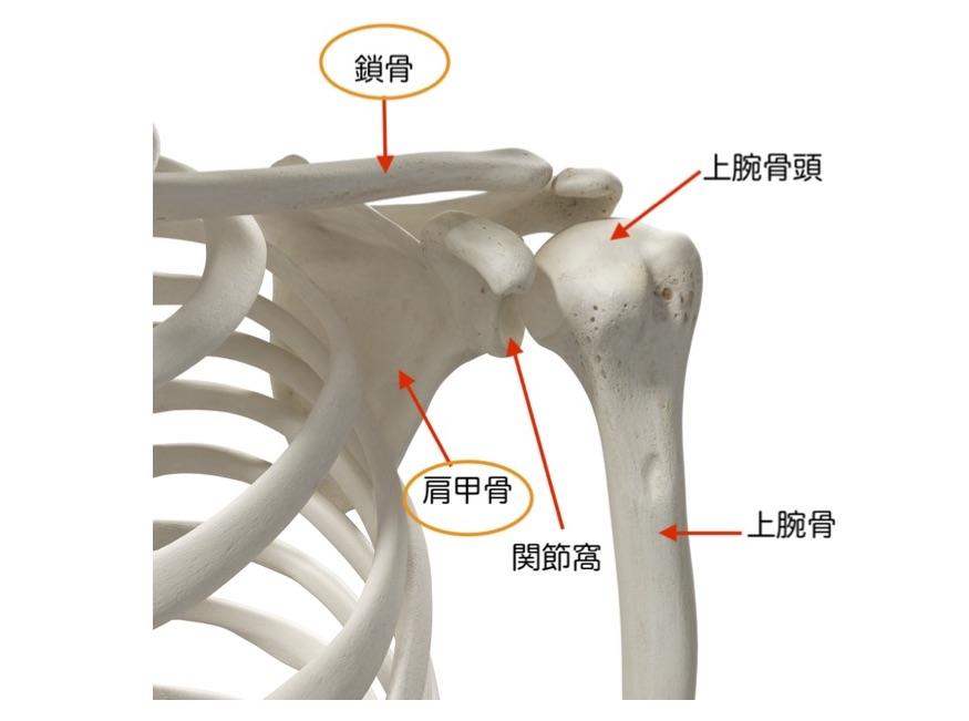 肩の骨の構造