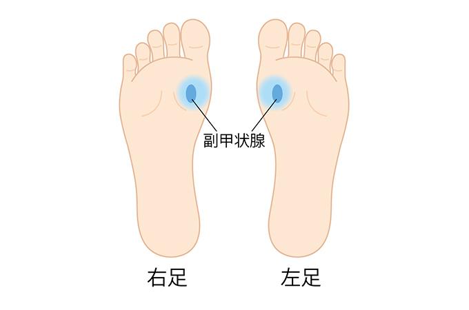 副甲状腺の反射区のイラスト