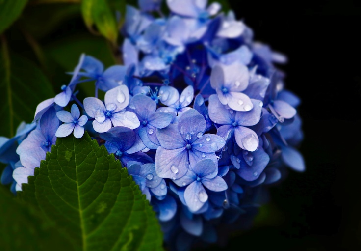 アジサイの花画像