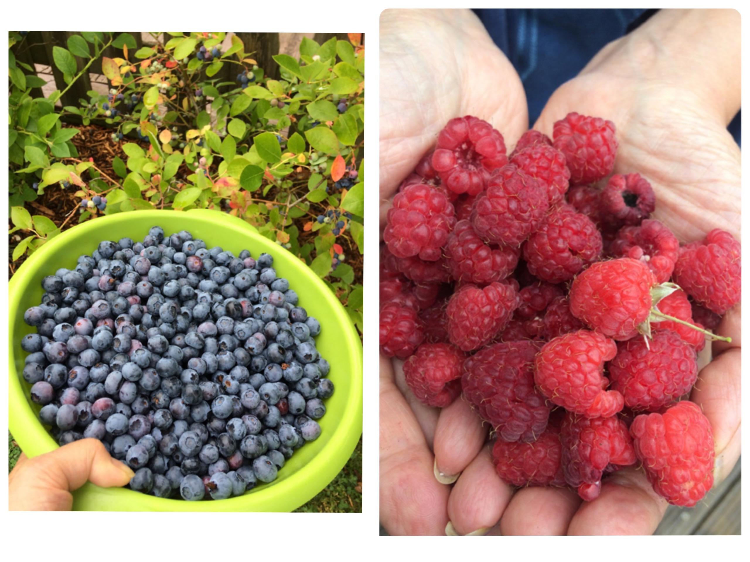 収穫したブルーベリーとフランボワーズ