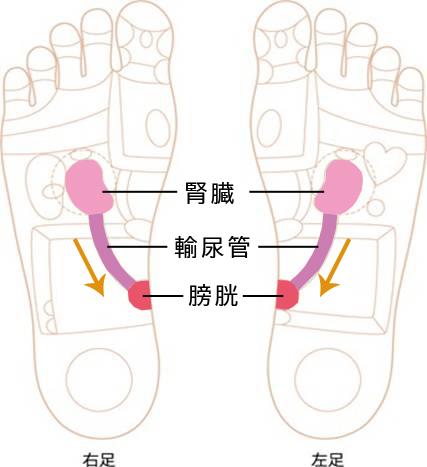足裏イラスト(腎臓~膀胱)画像