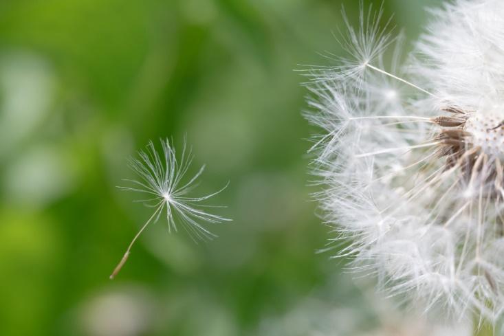 たんぽぽの綿毛の画像