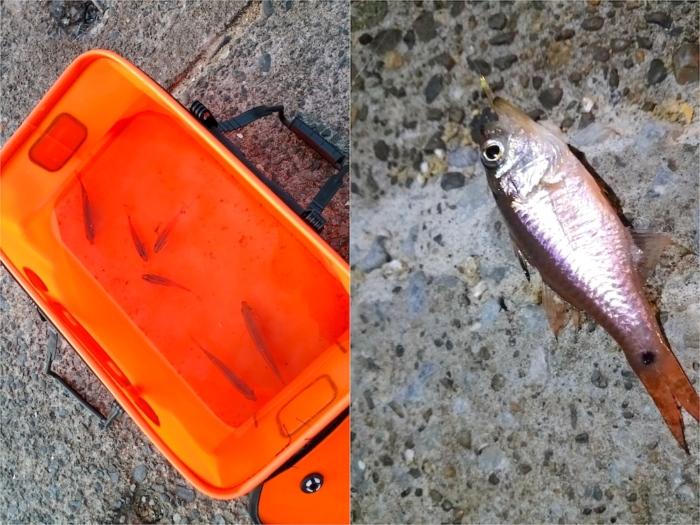 サビキ釣りで釣れた魚