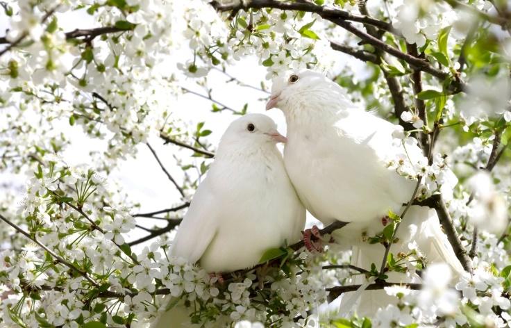 白い鳩2羽の画像