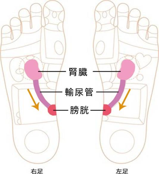 腎臓、輸尿管、膀胱の反射区イラスト画像