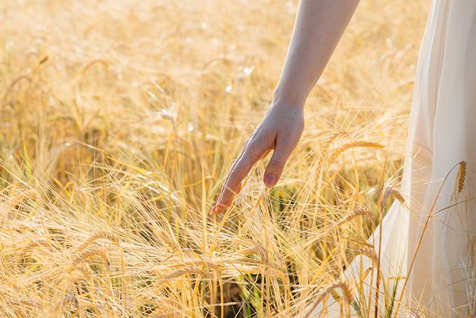 麦畑で麦の穂を触る手