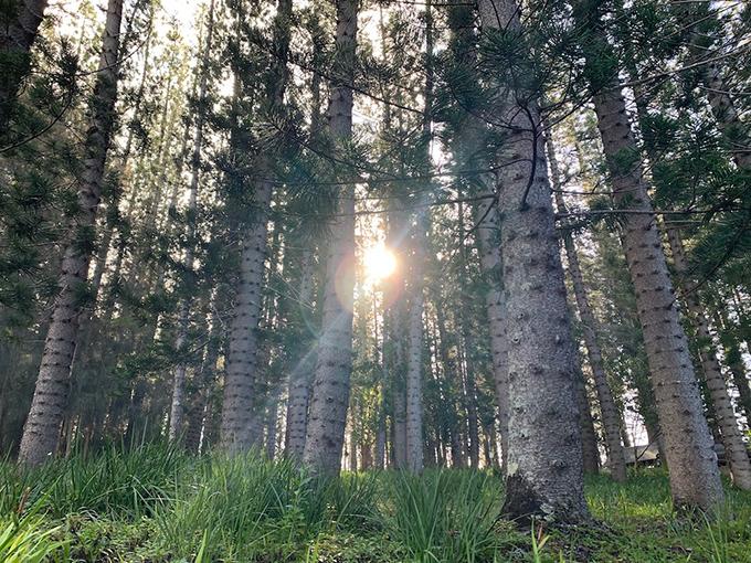 ハワイの森林から日差しが入り込んでいる風景写真