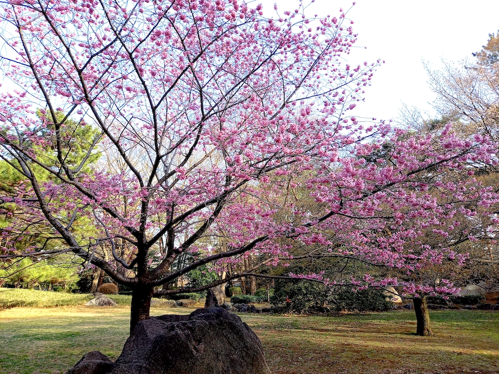 ピンク色の桜の木