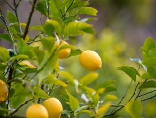 レモンの次にビタミンCが多いのは?~ダイエットに役立つ栄養クイズ~